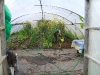 watering the poly tunnel